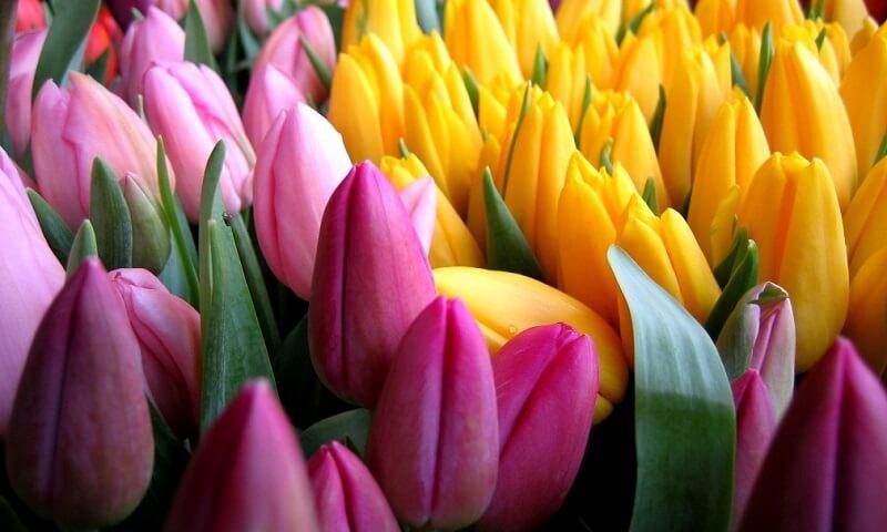 Тюльпаны: выращиваем по-настоящему королевский цветок