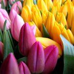 Тюльпаны. Как вырастить по-настоящему королевский цветок