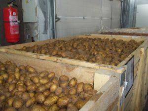 Уборка и хранение урожая картофеля
