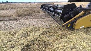 Уборка полеглой озимой пшеницы