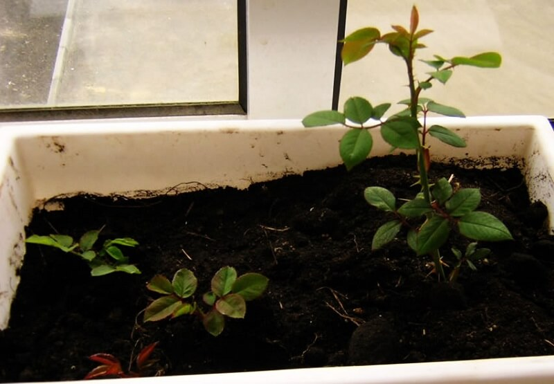Грунт для выращивания роз из черенков 87