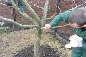 Уход за обрезанными деревьями