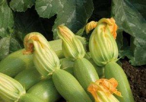 Сбор урожая кабачков