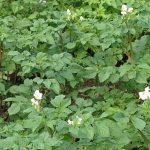 Особенности выращивания новых сортов картофеля