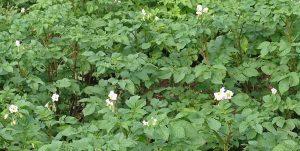 Особенности выращивания новых сортов картофел