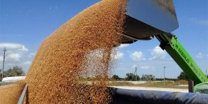 Как в домашних условиях выращивать пшеницу в?