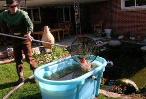 Декоративные рыбки потребуют переселения в аквариум