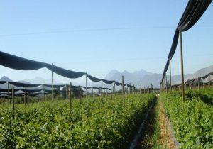 Удобрение промышленных плантаций малины