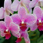 Особенности орхидеи