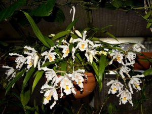 Орхидея цветет в горшке