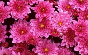 Розовые бордюрные хризантемы