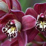 Размножать орхидеи легко