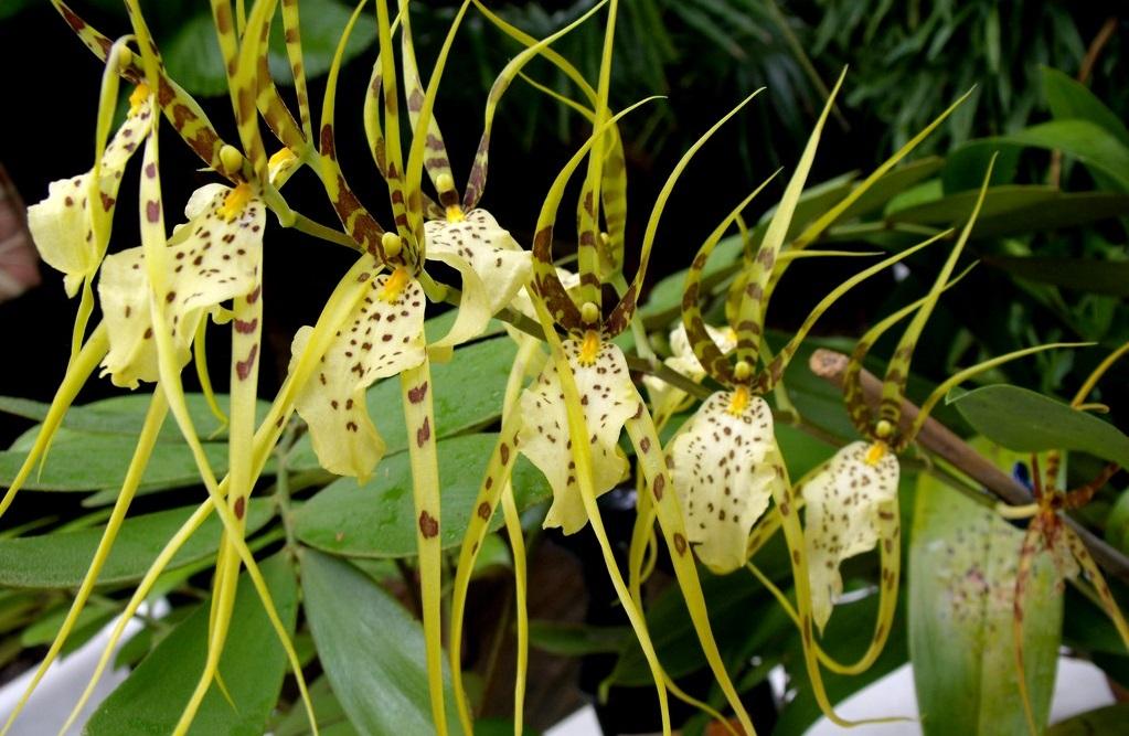 Брассия орхидея-паук