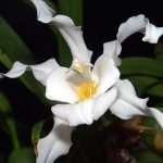 Целогина орхидея-ангел