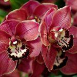 Цимбидиум — сельская орхидея