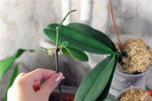 Черенкование тростниковых орхидей