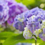 Полезные советы по выращиванию гортензии. Основные виды и сорта