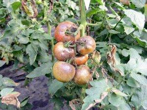 Больной куст помидоров