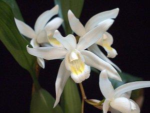 Целогина орхидея