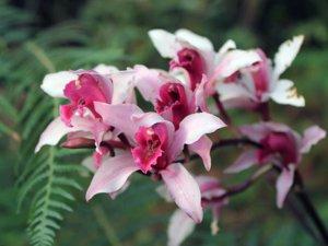 Цимбидиум цветение