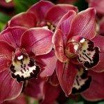 Цимбидиум — сельская орхидея: разведение и уход в домашних условиях