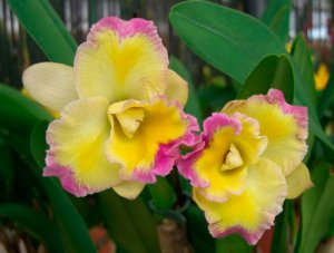 Цветок каттлея гибридная