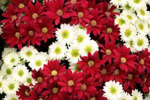 Цветущая хризантема