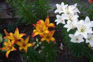 Домашние лилии в саду
