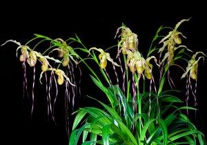 Куст цветущей орхидеи фрагмипедиум