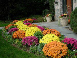 Хризантемы в садовом дизайне