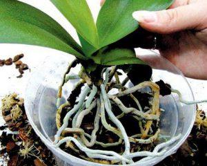 Размножение орхидей делением куста