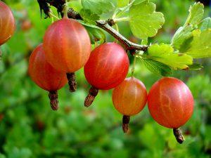 Плоды крыжовника