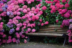 Кусты гортензии цветут