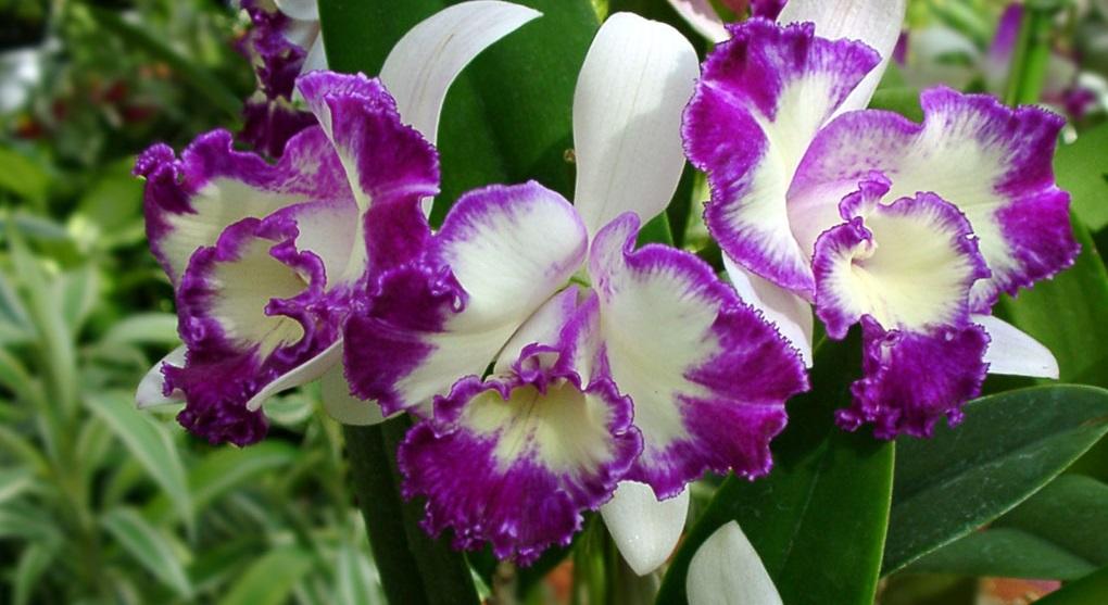 Каттлея - орхидея пруста