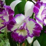 Каттлея – орхидея пруста: разведение и уход в домашних условиях