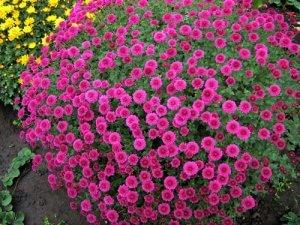 Куст цветущей хризантемы