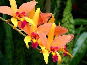 Лелия цветение