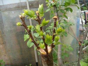 Летняя прививка плодовых растений