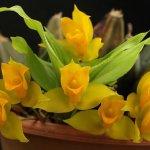 Лудизия – драгоценная орхидея и ликаста