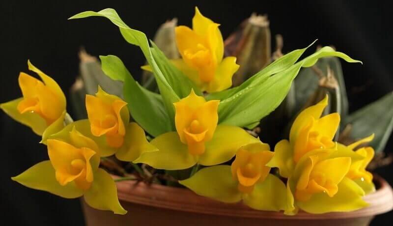 Лудизия - драгоценная орхидея и ликаста