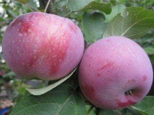 Яблоки сорта Лобо