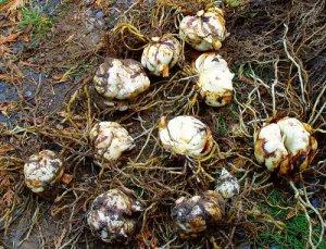 Луковицы лилии с корнями для посадки