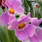 Мильтония– орхидея «анютины глазки» и Одонтоглоссум – Камбрия: особенности и уход