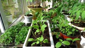 Урожай на подоконнике
