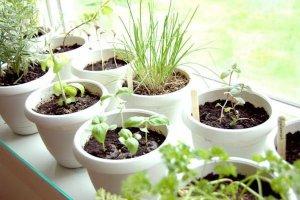 Домашний огород на подоконнике
