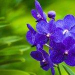 Орхидеи Ванда и Зигопеталум: разведение и уход
