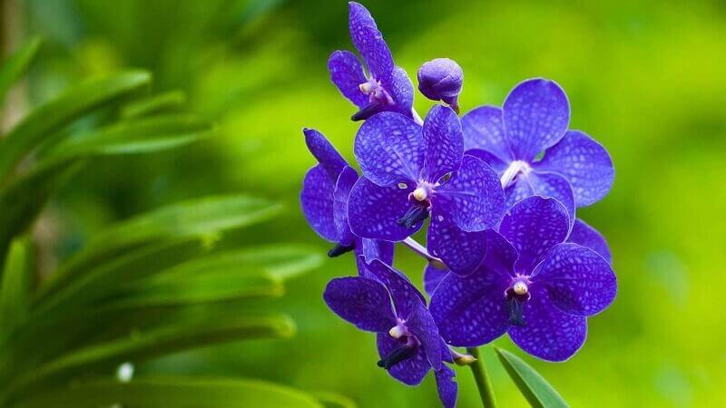 Орхидеи Ванда и Зигопеталум