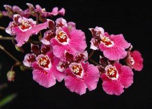 Орхидея онцидиум гибрид