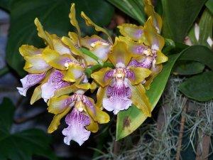 Орхидея Зигопеталум пересадка
