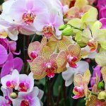Пафиопедилум — венерин башмачок и фаленопсис — орхидея-бабочка